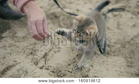 British Shorthair Tabby cat in collar walking on sand outdoor - plays with the hand of a woman, camping