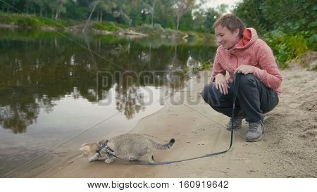 British Shorthair Tabby cat in collar walking on sand outdoor - plays with water near forest river, camping