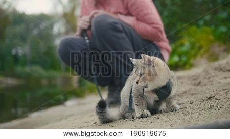 British Shorthair Tabby cat in collar walking on sand outdoor - plays with sprig, camping