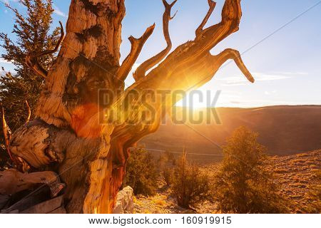 Ancient Bristlecone Pine Tree showing the twisted and gnarled features.California,USA.