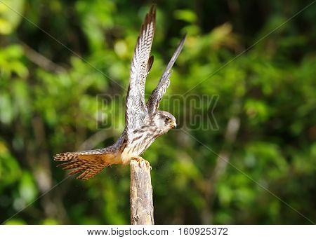 Amur Falcon (Falco amurensis), bird of prey or raptor