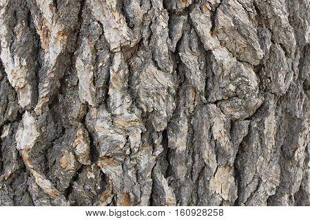 Background of a cedar tree bark, Lebanon.