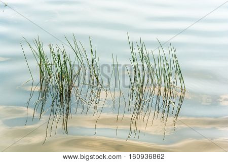 Thin Blades Of Grass On The Background Of Water.