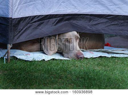 Weimeraner dog looking under tent flap in boredom.