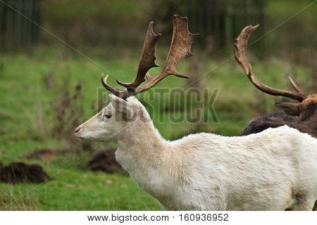 Rare White Fallow Deer stag in parkland.