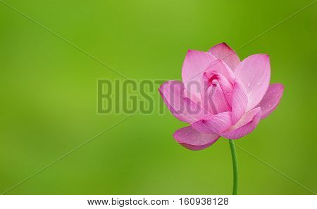 Lotus.spring flower with bokeh background close-up selective focus shallow