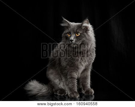 gray cat with orange eyes on a gray background