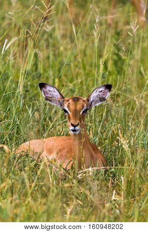 Reclining impala. At rest. Park Tarangire, Africa