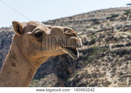 wildlife Camel looking funny inside Camera in Oman salalah landscape Arabic 4