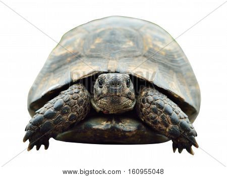 tortoise isolated photo. Turtle from the front