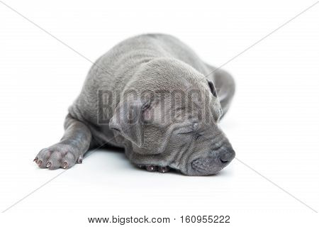 One month old thai ridgeback puppy dog sleeping. Isolated on white. Copy space.