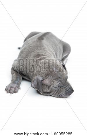 One month old thai ridgeback puppy dog sleeping. Back view. Isolated on white. Copy space.