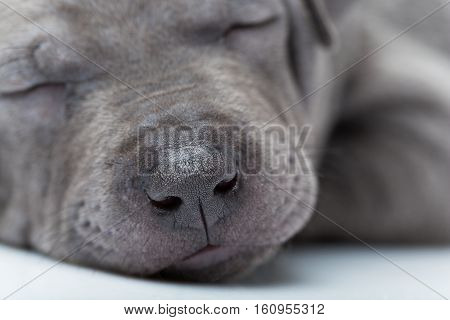 Closeup portrait of one month old thai ridgeback puppy dog sleeping. Isolated on white. Copy space.