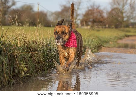 Cute Dog runs through puddle wearing bandana in countryside setting