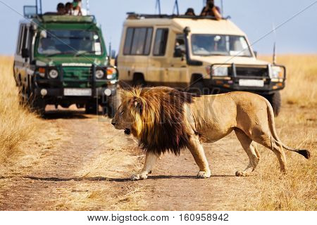 Portrait of big lion crossing the road at Masai Mara National Reserve, tourist's jeeps on background
