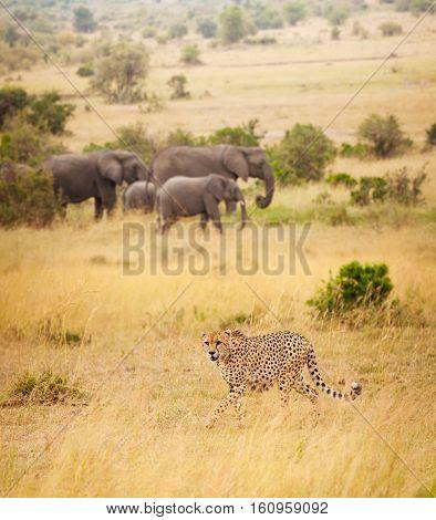 Portrait of African cheetah hunting at dried grass of Kenyan savanna