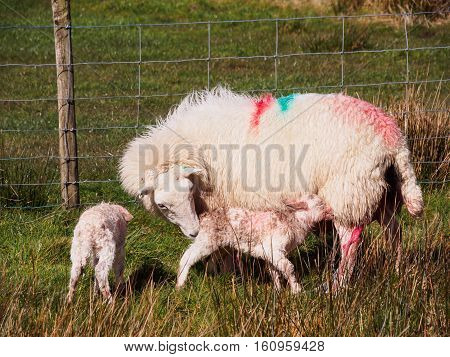 Newly born lambs with their mother by the side of the road near Hafren Forest Llanidloes Wales
