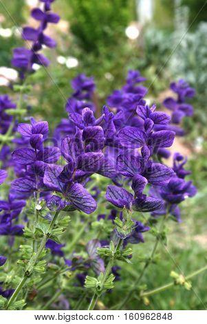 Close up of Salvia viridis (Salvia horminum) in the summer garden