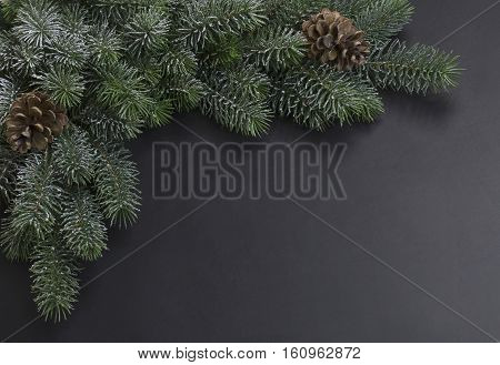 Snow covered branches of Christmas tree on a black background
