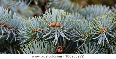 Needles on the branch of the fir tree