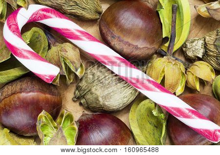 A background with fresh raw chestnuts and a candy cane for Christmas.