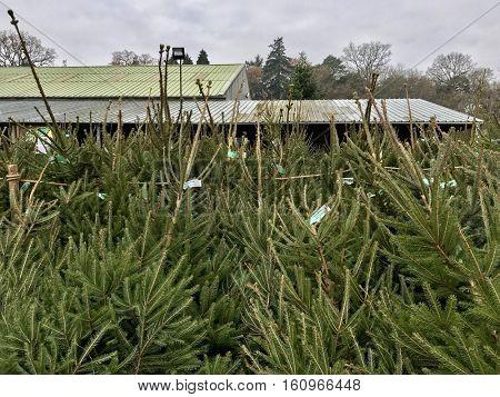 YATTENDON - DECEMBER 3: Christmas Tree Netting at Yattendon Christmas Trees on December 2, 2016 in Yattendon, Berkshire, UK.