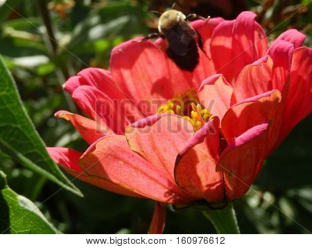 Cute Bumblebee Bee Climbs Over the edge of the petals of a pretty pink zinnia daisy flower in a garden surrounded by green leaves in summer