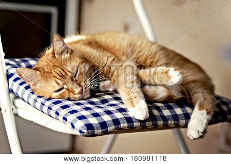 Red Cat Is Sleeping On A Blue Pillow On A Chair In The Sunshine