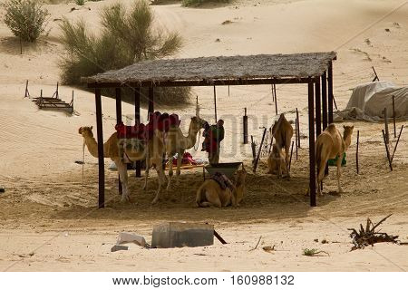 A group of camels and a handler (man) next to a desert safari camp in Dubai, UAE. Tourists are taken on camel rides as part of the camp experience.