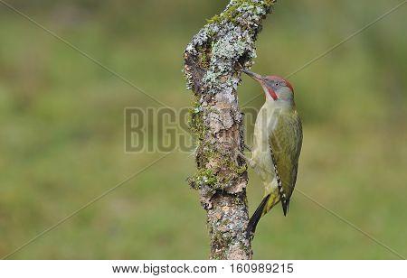 Female European Green Woodpecker On A Branch
