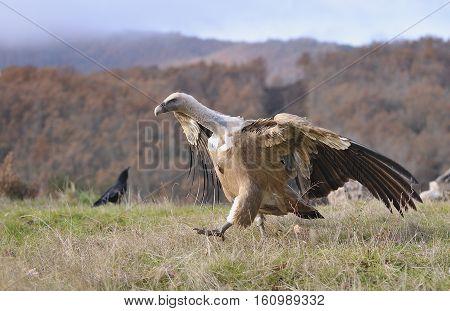 a Griffon vulture starting to take flight.