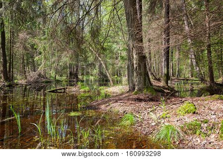 Natural swampy stand in spring with old alder tree in foreground, Bialowieza Forest, Poland, Europe