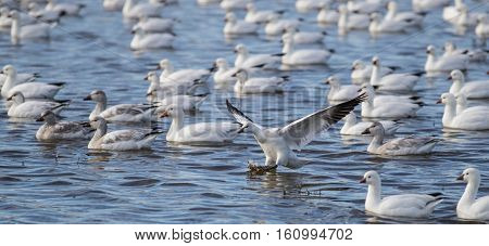 Snow Goose landing in a lake in the Bosque