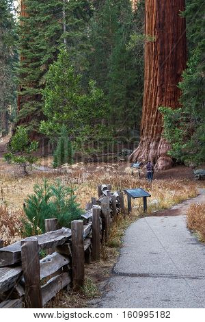 Giant Sequoias In California