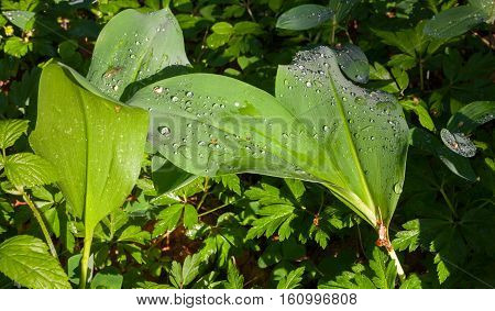 Lily-of-the-valley leaves with water drops rain after in of sunset light