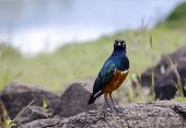 A Greater Blue-eared Starling are also called as Greater Blue-eared Glossy-Starling in Ngorongoro Crater Conservation Area, Tanzania. East Africa poster