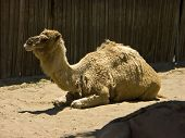 camel sitting at the oakland zoo ** Note: Slight blurriness, best at smaller sizes poster