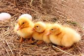 yellow fluffy ducklings on the hay poster