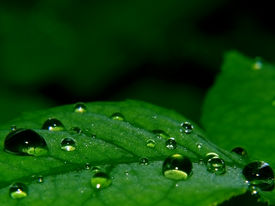 Water Droplets On A Leaf