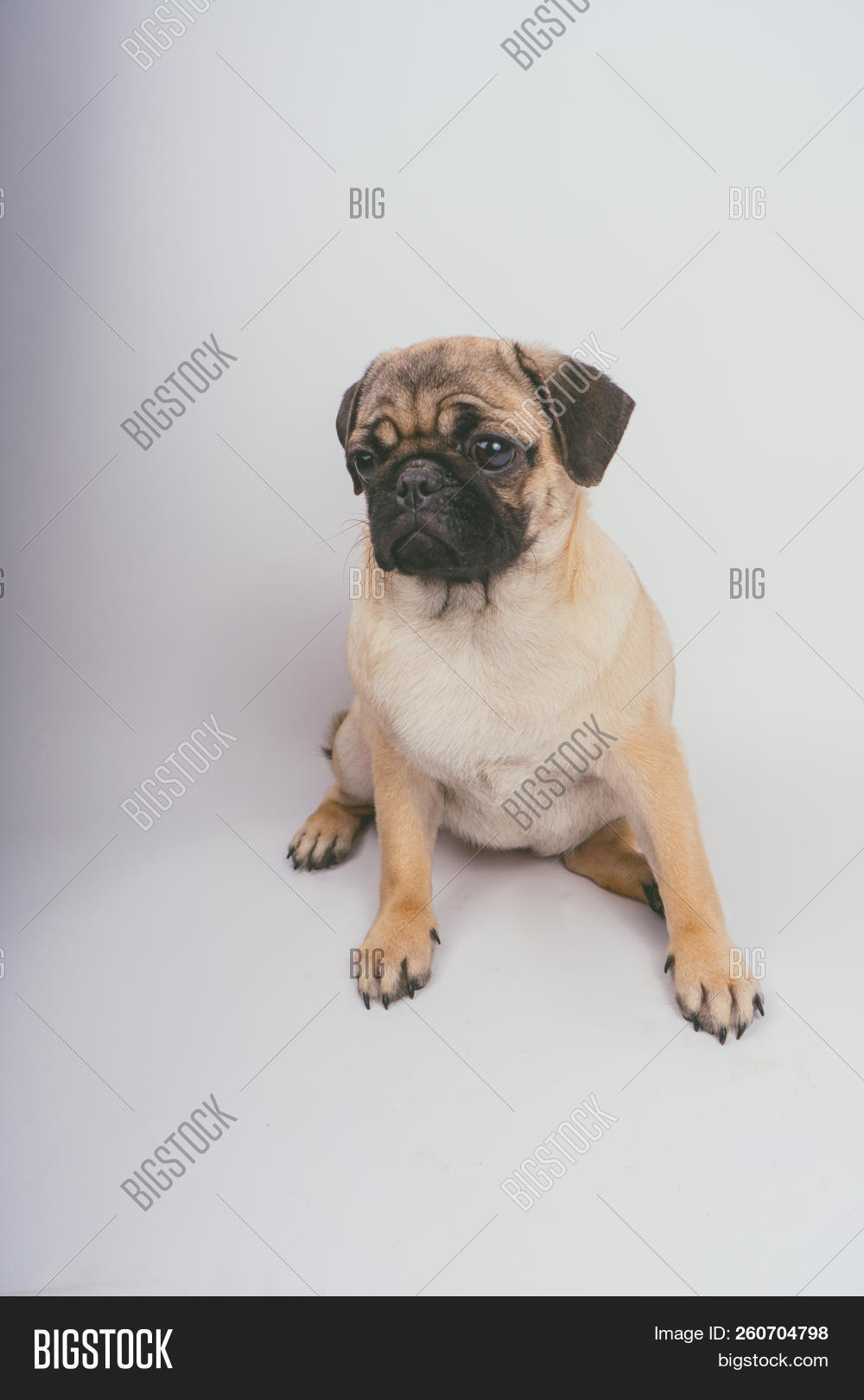 Funny Pug Puppy On Image Photo Free Trial Bigstock