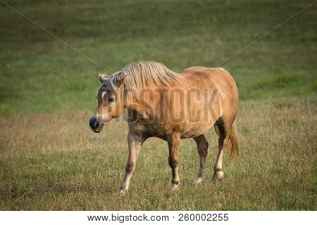 Horse Walking In Field. Horse On Nature. Portrait Of A Horse, Brown Horse. Horse On A Green Grass.