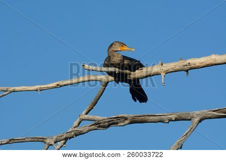 Double Crested Cormorant Or Phalacrocorax Auritus Roosting On Dead Tree Branch
