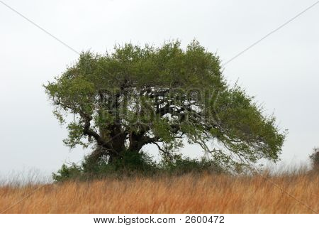 Tree In The Savannah