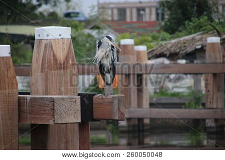 Heron Standing On A Mooring Post Searching For Fish In The Canal Hollandsche Ijssel At Gouda In The