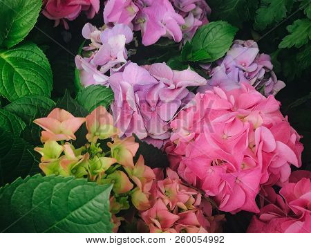Pink And Lavender Hydrangea Flowers, Surrounded By Green Leaves