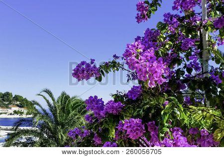 Bougainvillea Flower Known As Napoleon, Jahanamiya, Veranera , Trinitaria, Santa Rita, Papelillo, Pr