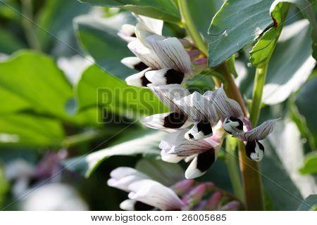 Broad bean flower