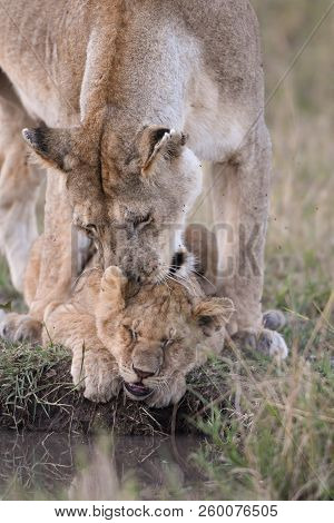 A Female Lion Picking Up A Lion Cub That Is Sitting By A Watering Hole In Masai Mara Game Reserve, K