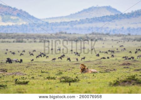 A Male Lion Laying Down In A Meadow With A Herd Of Animals In Background In Masai Mara Game Reserve,