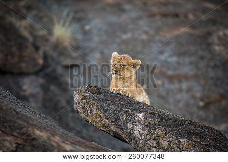 Cute African Lion Cub Exploring A Large Rock In Masai Mara, Kenya